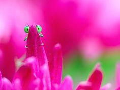 """Accovacciato nel giardino dietro casa, il fotografo rumeno Remus Tiplea ha impiegato tre anni per racogliere gli scatti di questa simpatica serie dal titolo """"Damsefly"""". Ha aspettato che questi insetti si nascondessero tra fiori e foglie e poi ha scattato al momento giusto, trasmettendo cos"""