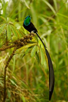 Stephanie's Astrapia : BIRDS OF PARADISE : Environmental Photographs: Wildlife Photojournalist Tim Laman, Tim Laman