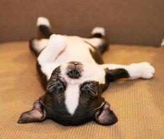 pooped boston terrier pup! LOL! Oscar still sleeps like this!