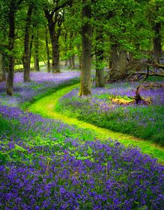 Bluebell path, Perthshire, Scotland