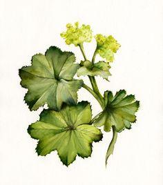Ladys Mantle- botanical art print. $20.00, via Etsy.