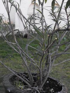 Leander metszése | Nőknek kertről. Horticulture, Nespresso, Plants, Gardening, Home Decor, Decoration Home, Room Decor, Garden Planning, Lawn And Garden