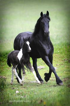 Friesian Mare with Colt