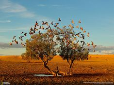 In the Strezlecki desert of Australia a flock of galahs replenish on the only small water avaliable at the base of this lonely tree.Its a rare photo opportunity to get such a clear and symetrical shot of these beautiful birds in flight in the middle of the desert