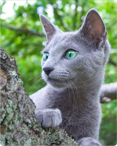 Russian Blue cat. My grandparents once had one. RIP, Blue.