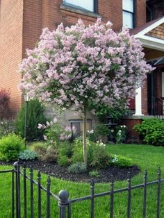 Dwarf Lilac Tree block out neighbors so want one in my backyard. Love there smell Dwarf Lilac Tree block out ne Trees For Front Yard, Small Front Yard Landscaping, Landscaping Trees, Front Yard Design, Front Yards, Fence Design, Outdoor Landscaping, Corner Landscaping Ideas, Front Yard Gardens