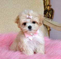 Teacup Tese-Eng Puppy She is Stunning!!  SOLD Moving to Puerto Rico!