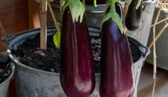 Ten tips for growing eggplant in a pot or container |