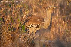 The kori bustard is the largest flying bird in Africa. It is believed that the kori is the heaviest living animal capable of flight. It is a ground-dwelling bird and opportunistic omnivore.   #nThamboTreeCamp #Koribustard #birds #birding #kruger #safari #birdsafari