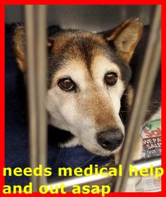 SAFE --- Precious KUMA is 11 and was surrendered to the shelter with a large mass on her rear area. She is very uncomfortable and needs medical help now. Please SHARE like crazy, she is very special and a FOSTER would get her out of the shelter. Thanks!  #A4787633 My name is Kuma and I'm an approximately 11 year old female shiba inu. https://www.facebook.com/171850219654287/photos/pb.171850219654287.-2207520000.1419976548./352834684889172/?type=3&theater