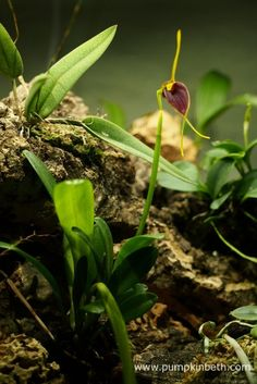 Here's a look inside my Miniature Orchid Trial BiOrbAir Terrarium, as pictured on the 14th May 2016.  Today the Masdevallia rechingeriana flower opened.