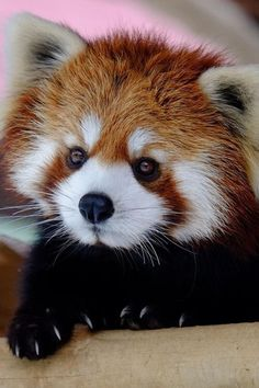 Imagen de animal, cute, and Red panda