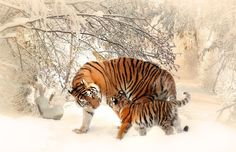 Tigers and snow