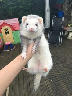 From the Chrysalis — Photo credit: Luke Bradley. Baby Ferrets, Funny Ferrets, Pet Ferret, Cute Little Animals, Cute Funny Animals, Cute Dogs, Exotic Pets, Guinea Pigs, Animals And Pets