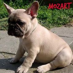 Mozart French Bulldog male puppy Owners: Bosphorus Bulls Kennel and Turkbulls Kennel Türkiye,Istanbul Facebook/Bosphorus Bulls