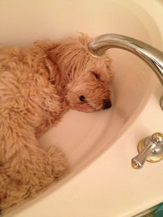 goldendoodle rest funny