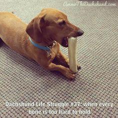 Dachshund Life Struggle // The Struggle is Real // Ammo the Dachshund Dachshund Funny, Dapple Dachshund, Dachshund Gifts, Mini Dachshund, Dachshund Puppies, Corgi Dog, Daschund, Chihuahua Dogs, Pet Dogs