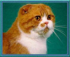 Scottish Fold Pet Cat | Fun Animals Wiki, Videos, Pictures, Stories