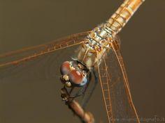 Female Trithemis annulata