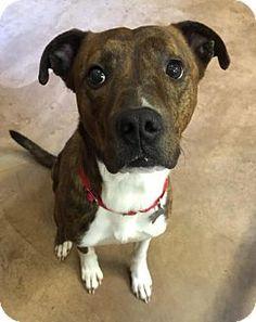 Burlington, WA - Pit Bull Terrier Mix. Meet Roger, a dog for adoption. http://www.adoptapet.com/pet/14704483-burlington-washington-pit-bull-terrier-mix