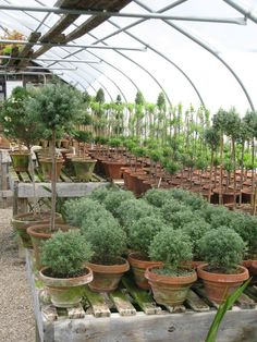 Greenhouse full of rosemary topiary.