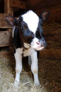 "I just Love that when I was a little girl I had a pet cow that looked just like this one.her name was ""Honey Bun"" Vegan Animals, Farm Animals, Cute Animals, Baby Cows, Cute Cows, Cattle, Beautiful Creatures, In This World, Fur Babies"