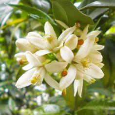 Neroli (Citrus Vulgaris) flowers