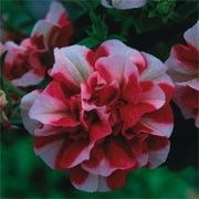 Petunia Tumbelina Cherry Ripple is so much tempting, - no one can resist. Think of yogurt ice cream with cherry and you will melt right away Magenta Flowers, Colorful Flowers, Unusual Flowers, Window Box Plants, Window Boxes, Plant Delivery, Planting Vegetables, Vegetable Garden, Veggies
