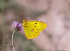 Pale Clouded Yellow by Svete on 500px