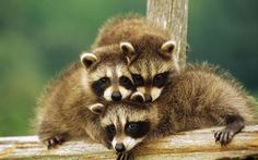 These 21 Heartwarming Family Photos of the Animal Kingdom are Truly Majestic. Animals And Pets, Baby Animals, Funny Animals, Cute Animals, Wild Animals, Funny Raccoons, Animal Babies, Beautiful Creatures, Animals Beautiful