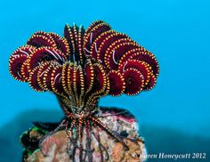 Crinoid -  Komodo by Karen Honeycutt, via Flickr