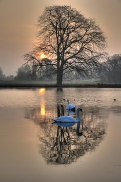 Reflections - swans in Langley Park