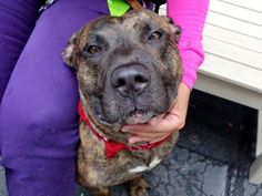 TO BE DESTROYED 6/13/14 Manhattan Center -P  My name is LUTHER. My Animal ID # is A1002497. I am a male br brindle and white pit bull mix. The shelter thinks I am about 2 YEARS   I came in the shelter as a STRAY on 06/08/2014 from NY 10306, owner surrender reason stated was STRAY. https://www.facebook.com/photo.php?fbid=818409664838581set=a.611290788883804.1073741851.152876678058553type=3theater