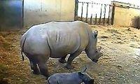 petite femelle Rhinocéros blanc