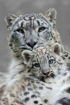 Snow leopard and cub