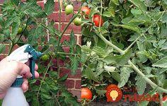 Odkedy používam tento lacný recept, uhorky a paradajky nenapadli žiadne choroby a darí sa im jedna radosť!