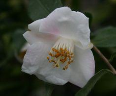 Camellia fraterna