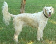 MARTY (N Carolina) is an adoptable English Setter Dog in Huntersville, NC. My name is Marty, and I'm a sweet, handsome, orange-belton Field English Setter (DOB 2007). I'm neutered, up-to-date on vacci...