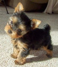 106 Best Yorkshire images in 2019 | Yorkie, Yorkie puppy, Dogs