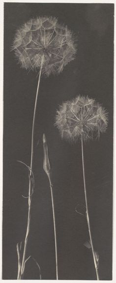"arsvitaest:  ""Dandelions"" Author: Frederick H. Evans (English, 1853–1943)Date: 1900s-1920sMedium: Platinum printLocation: The Metropolitan Museum of Art, New York"