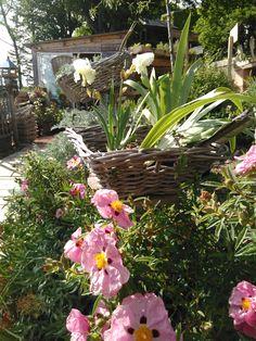 """productrice de plantes vivaces en auvergne-""""Les Jardins des Hurlevents """" http://www.plantes-vivaces-hurlevents.com/"""