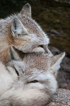 Corsac fox: Keeping eachother warm on this cold and rainy day   by Arjan Haverkamp via Flickr   #pair #foxes #corsac   https://flic.kr/p/5Y5wRB