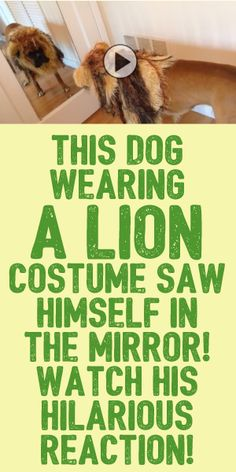 This Dog Wearing A Lion Costume Saw Himself In The Mirror... Watch His Hilarious Reaction!