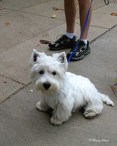 Westies... HOW can anyone resist that face?! D.S