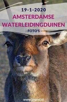 Ik maakte een wandeling in de Amsterdamse Waterleidingduinen en spotte o.a. damherten en een vos. Kijk je mee wat ik allemaal zag? #awd #vos #damhert #wandelen #hiken #natuur #jtravel #jtravelblog #fotos