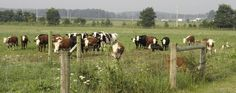 Cattle_2607-1260x500