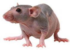 Hairless Rat Care