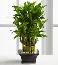 So why is Lucky Bamboo considered lucky ? Lucky Bamboo is one of the most popular feng shui cures. You can see feng shui lucky bamboo in most floral shops nowadays. These cute little arrangements in their exotic conta… Feng Shui Lucky Bamboo, Lucky Bamboo Plants, Buy Bamboo, Indoor Bamboo, Best Indoor Plants, Feng Shui Plants, Plant Images, Money Trees, Same Day Flower Delivery