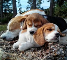 10 Pictures Beagle Make Me So Happy. They are all so adorable. what a beautiful beagle! Cute Beagles, Cute Puppies, Cute Dogs, Dogs And Puppies, Doggies, Hound Dog Puppies, Dogs Pitbull, Baby Beagle, Beagle Puppy