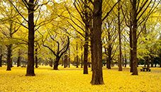 Árboles ginkgo otoñales, Parque Yoyogi, Tokio (Japón)